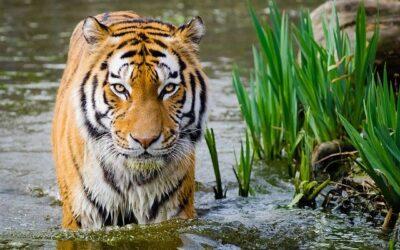 Wenn der Tiger ständig im Raum ist
